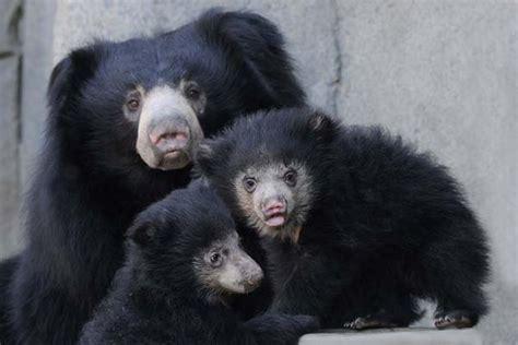 sloth bear cubs  brookfield zoo  pretty cute