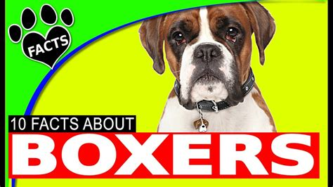 dogs boxer dog facts 101 animal german breeds most popular fun hugging