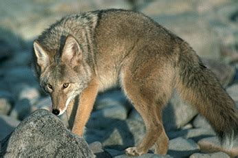 city warns buena park residents     coyotes
