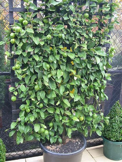 espalier fruit trees in containers 94 best images about espalier on pinterest gardens trees and pears