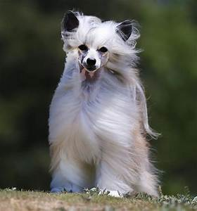 Powderpuff Chinese Crested Dog Photos - Doglers