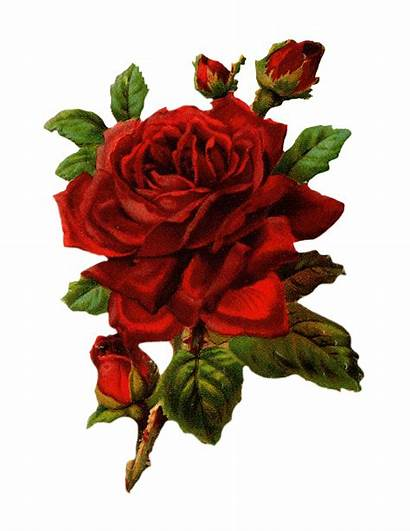 Rose Royalty Graphic Flower Things Pretty