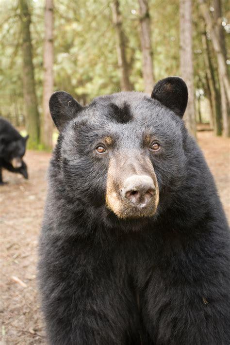 american black bear oregon zoo