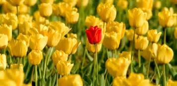 one tulip stands out among a field of yellow tulips