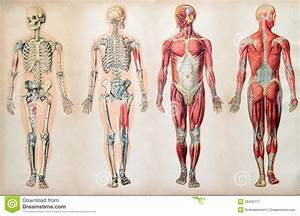 Old Vintage Anatomy Charts Of The Human Body Stock Image