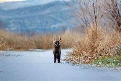 Aesthetic Animal Vulpes Fox Cross Wildlife Nature