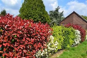 Arbuste Persistant Croissance Rapide : planter une haie d 39 arbustes choisir des arbustes ~ Premium-room.com Idées de Décoration