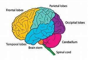 An introduction to the brain factsheet |Brain injury ...