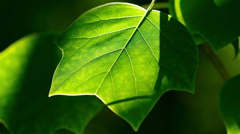 Nice Green Leaf Hd Image Free Download  Hd Famous Wallpapers