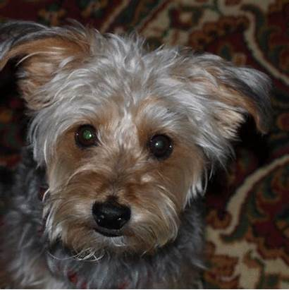 Animated Yorkie Learned Rascal Today Photoshop Gifs