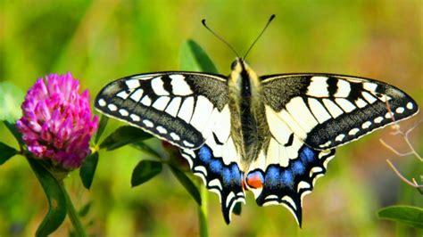 papillon vie mort du machaon youtube