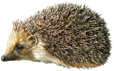 Hedgehog Clipart Hedgehog Clipart Realistic Pencil And In Color Hedgehog