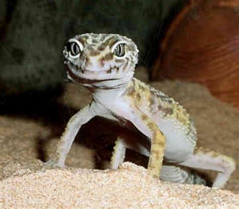 geckos as pets leopard geckos as pets