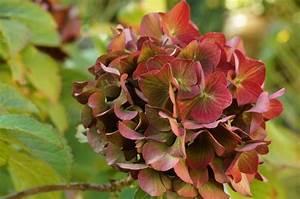 Hortensien Blätter Werden Braun : h ufige krankheiten bei hortensien braune bl tter was ~ Lizthompson.info Haus und Dekorationen