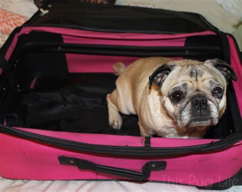 Pug Packs His Bags This Pug Life