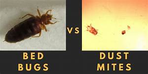 bed bugs house dust mites what39s the difference With do bed bugs come from dirt