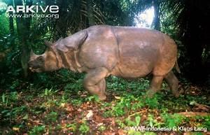Javan rhinoceros photo - Rhinoceros sondaicus - G9225 | Arkive