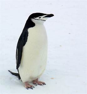 Chinstrap Penguin - a photo on Flickriver