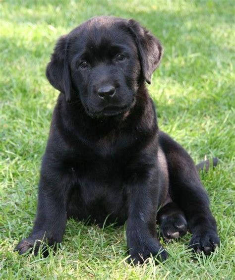 golden retriever black lab mix puppy  animals