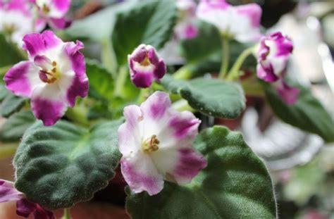 Kādas kļūdas nepiedos pieredzējis dārznieks kopjot vijolītes. Manas ir tik skaistas šobrīd ...
