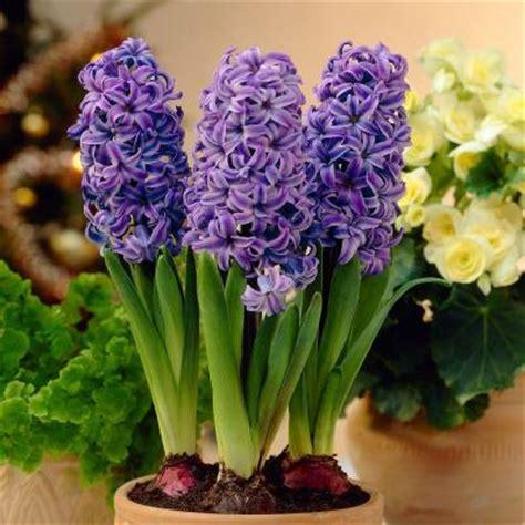 martha stewart living hyacinth atlantic dormant bulbs 27