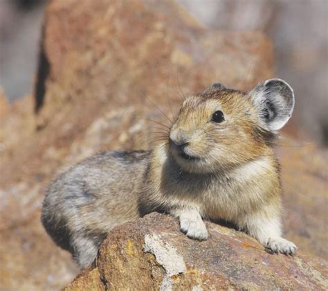 The American Pika A Case Study In Wildlife Acclimating To