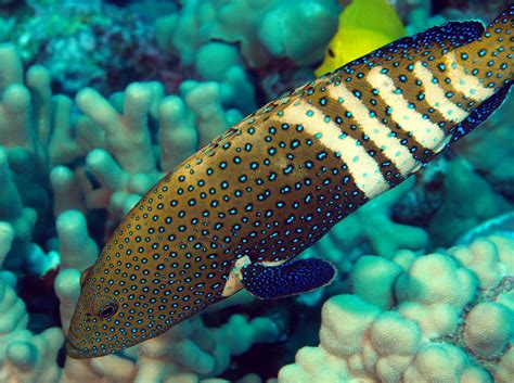 grouper peacock hawaii argus island cephalopholis reefs tropical location pacific reefguide