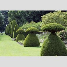 View Of Yew Topiary In The Garden At Hinton Ampner In June