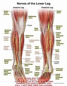 Nerves Of Anterior  Posterior Leg