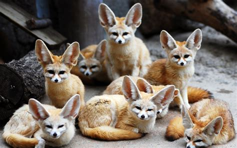 Top 10 Beautiful Animal Wallpapers - 13 excellent hd fennec fox wallpapers