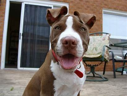 Pitbull Dogs Pit Bull American Wallpapers Dog