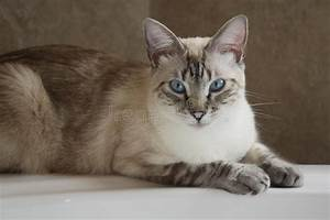 Siamese Lynx Point Cat On Bathtub Stock Image - Image of ...