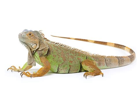 extremely small bathroom ideas how to trim iguana nails iguana claw trimming