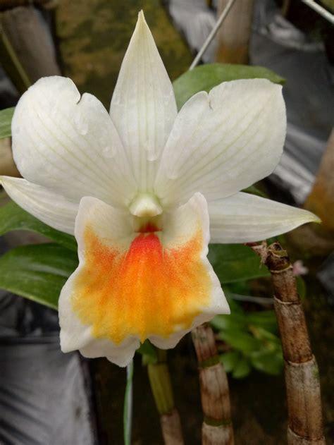 jual anggrek dendrobium formidable lapak hana orchid