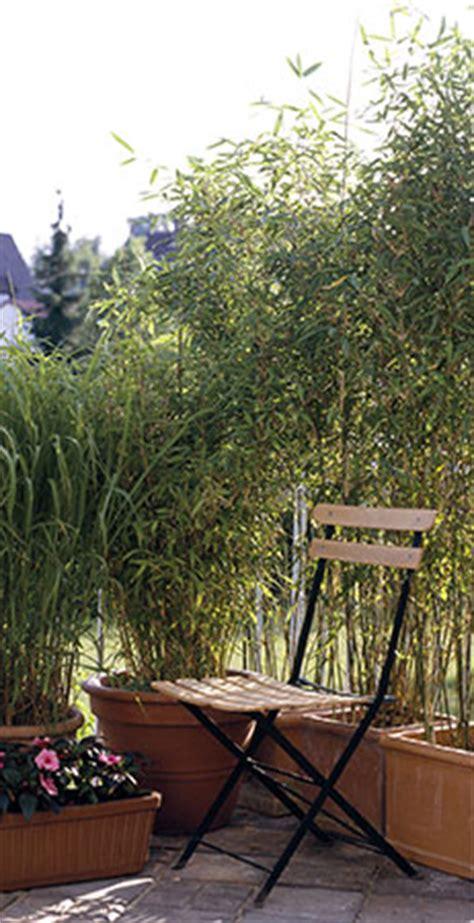 am 233 nagez des bambous en haie jardinerie truffaut conseils plantes de haie truffaut