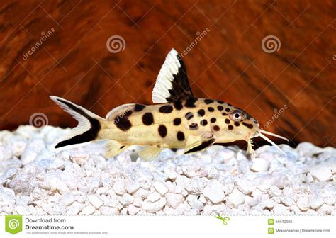 poisson chat d aquarium poissons d eau douce d aquarium de multipunctatus de synodontis de poisson chat de coucou photo