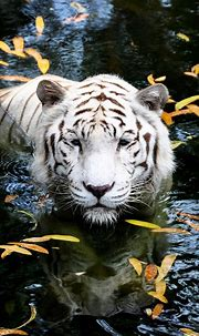 White Tiger | Animals beautiful, Beautiful cats, Animals wild