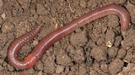 Cacing Dan Cacing Darah berikut manfaat cacing tanah yang kalahkan sapi dan obat