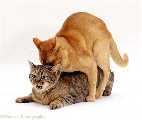 how do cats mate cats mating photo wp16730