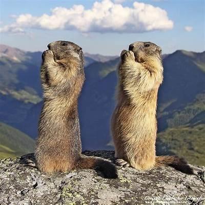 Nature and more: Alpine marmots - Marmota marmota The