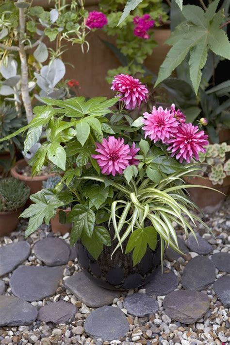 autumn colour create an autumn pot with dahlia gallery nouveau fatsia japonica and the