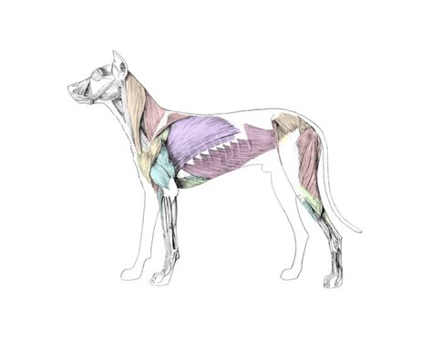 Major Superficial Muscles Of Dog Purposegames