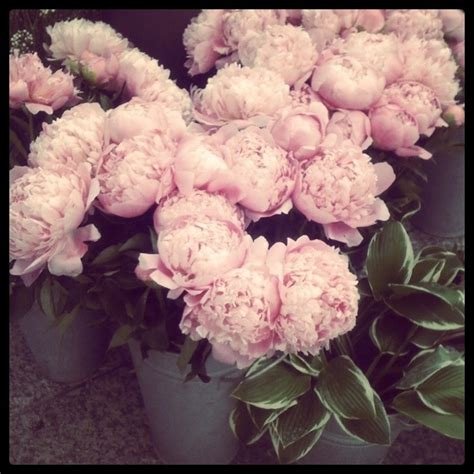 peonies growing season peony season things we love pinterest