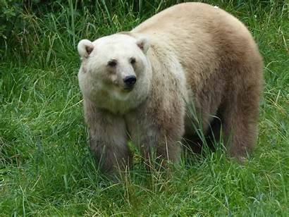Bear Hybrid Polar Zoo Flickr Grizzly Female