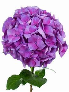 Hortensie Als Zimmerpflanze : hortensie magical esmee paars lila violett als ~ Lizthompson.info Haus und Dekorationen
