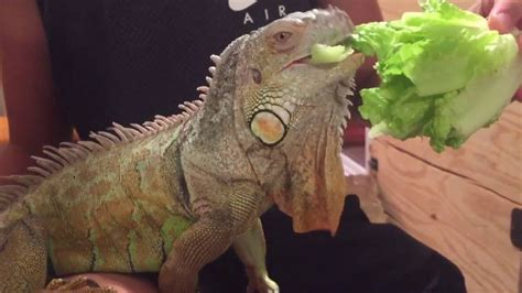 green iguana feeding youtube