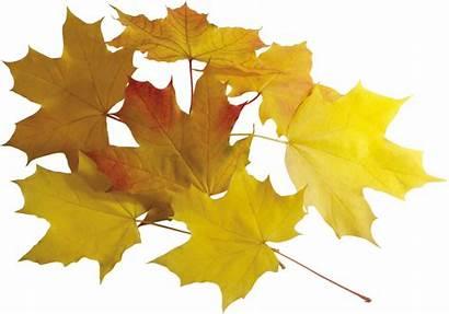 Leaves Autumn Leaf Transparent Leafs Accessoires Purepng