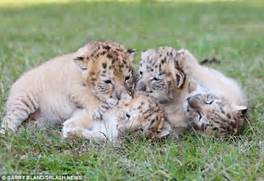 White Liger Cubs Are Too Cute For Words   White Liger Cubs