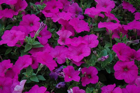 easy wave petunias easy wave neon rose petunia petunia easy wave neon rose in winnipeg headingley oak bluff