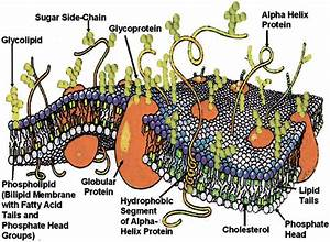 The Fluid Mosaic Membrane Model Of A Cell With Intrinsic